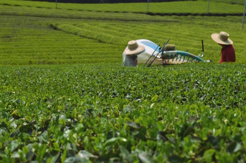 茶源郷和束は、今、秋番茶の季節。