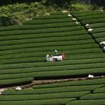 茶畑ツアー